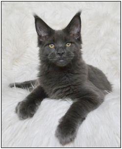 Wybitny BELLAMOONDO - hodowla kotów Maine Coon ::.. DI79